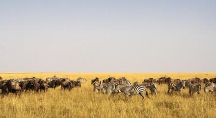 Savannah herbivores. Great migration.  In time. Kenya, Masai Mara.
