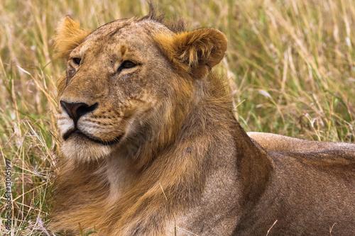 Young lion in the savannah.  King in future. Masai Mara, Kenya.