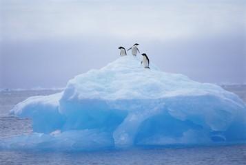 Adelie penguins on iceberg, Paulet Island, Antarctica,