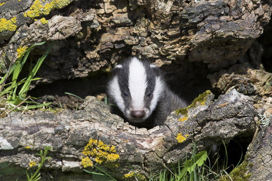 Badger cub, Meles meles, captive