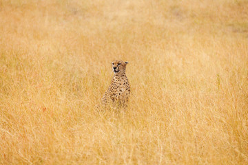 African cheetah sitting in the long dried grass