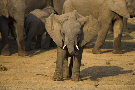 Baby elephant, Loxodonta africana, with trunk up at water in Addo Elephant National park, Eastern Cape