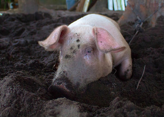 Pink pig with dirty snout digs the ground. Resting piglet on farm backyard.