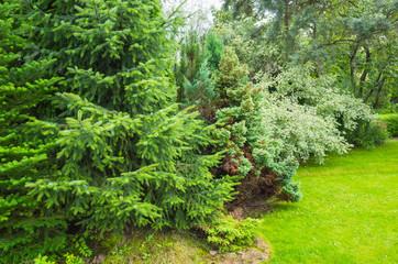 Fresh green spruce trees in garden