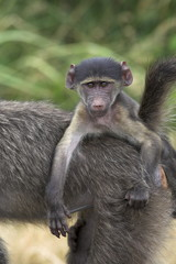 Young chacma baboon (Papio cynocephalus ursinus), riding on adult's back, Kruger National Park, Mpumalanga, South Africa, Africa