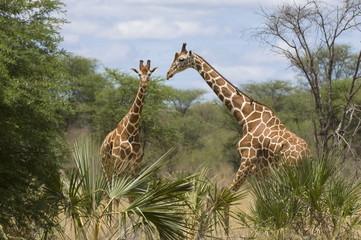 Reticulated giraffe, Meru National Park, Kenya, East Africa, Africa