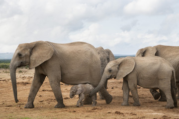 Herd of African Elephants travelling with  newborn calf