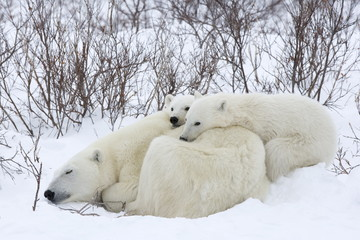 Polar bears (Ursus maritimus), Churchill, Hudson Bay, Manitoba, Canada, North America