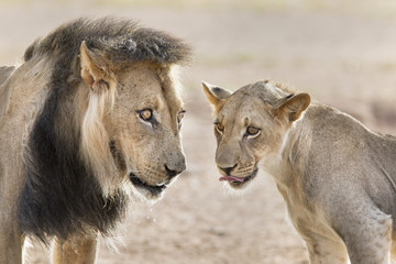 Pride male liion (Panthera leo) with sub adult male, Kgalagadi Transfrontier Park, South Africa, Africa