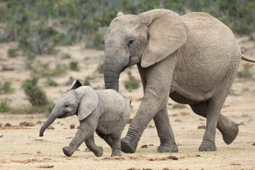 African elephant and calf running to water, South Africa