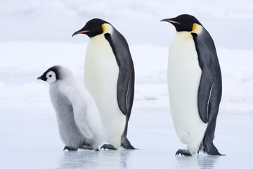 Emperor penguins (Aptenodytes forsteri) and chick
