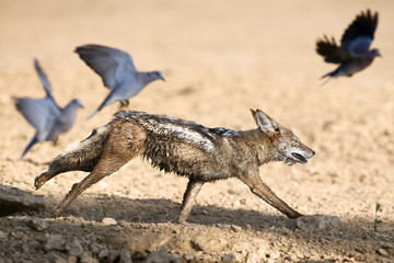 Blackbacked jackal (Canis mesomelas) chasing doves, Kgalagadi Transfrontier Park, South Africa, Africa