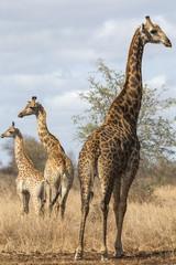Giraffe (Giraffa camelopardalis), Kruger National Park, South Africa, Africa