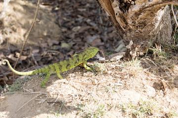 Petter's Chameleon, Furcifer Petteri is relatively abundant in the coastal areas of northern Madagascar