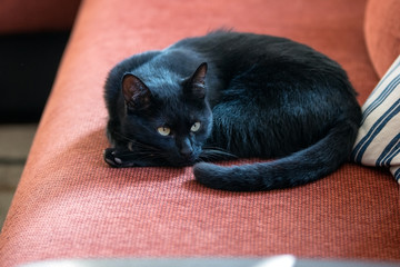 Black cat with bright fur on the red couch