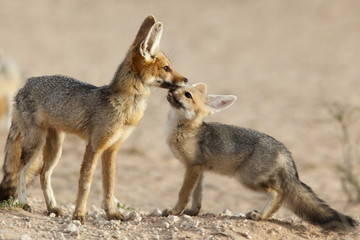 Cape fox with cub (Vulpes chama), Kgalagadi Transfrontier Park, Northern Cape, South Africa, Africa