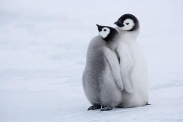 Emperor penguin chicks standing on ice