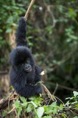 Young mountain gorilla (Gorilla gorilla beringei), Rwanda (Congo border), Africa
