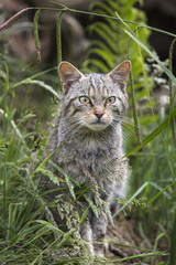 Scottish wildcat (Felis sylvestris), captive, United Kingdom, Europe