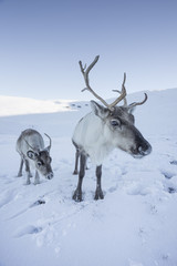 Reindeer (Rangifer tarandus) female with young, Cairngorms National Park, Scotland, United Kingdom, Europe