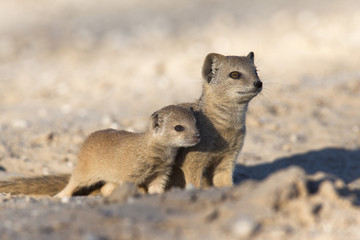 Yellow mongoose (Cynictis penicillata) with young, Kgalagadi Transfrontier Park, South Africa, Africa