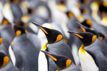 King penguin colony (Aptenodytes patagonicus)