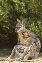 Tammar wallaby (Macropus eugenii), Flinders Chase National Park, Kangaroo Island, South Australia, Australia, Pacific