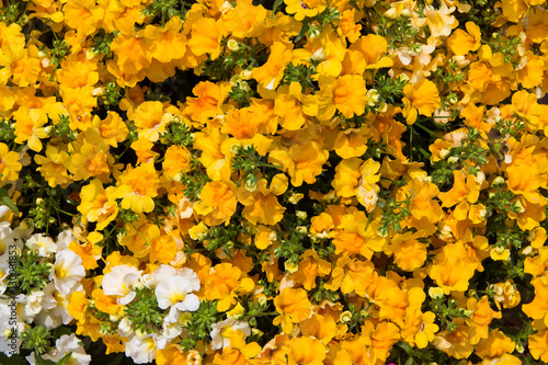 Texture of small yellow flowers bush stock photo and royalty free texture of small yellow flowers bush mightylinksfo