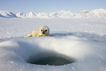 Ringed seal pup lying next to ice hole