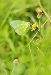 Little green butterfly on grass flower, butterfly on small blooming flower beside the withered flower