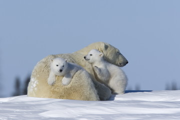Polar Bear with cubs resting in snow
