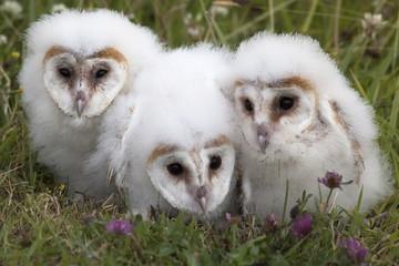 Barn owl (Tyto alba) chicks in captivity, Cumbria, England, United Kingdom, Europe