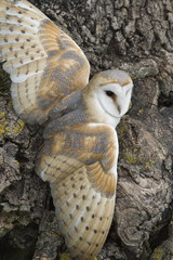 Barn owl (Tyto alba) perching on rock