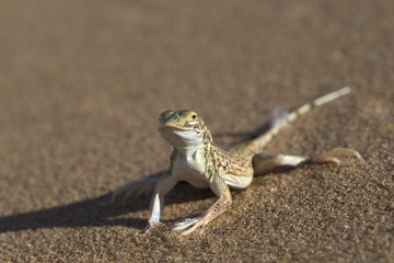 Shovel-snouted lizard (Meroles anchietae), Namib Desert, Namibia, Africa