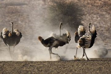 Ostrich (Struthio camelus), males, Kgalagadi Transfrontier Park, South Africa, Africa
