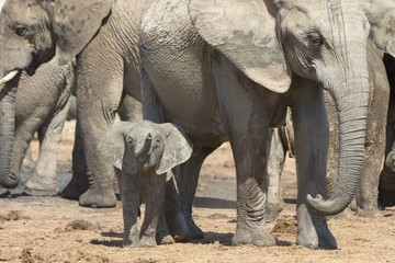 Elephant (Loxodonta africana) calf, Addo Elephant National Park, South Africa, Africa