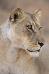 Lioness (Panthera leo), Kgalagadi Transfrontier Park, South Africa, Africa