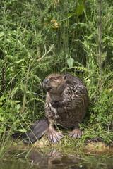 Eurasian beaver (Castor fiber), captive in breeding programme, United Kingdom, Europe