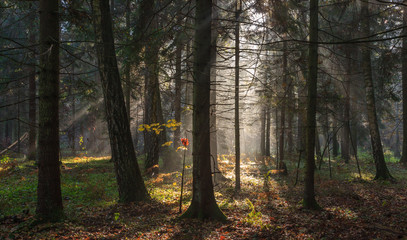 Fototapete - Misty autumnal coniferous stand in morning