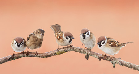 Wall Mural - small funny birds sparrows sitting on a branch on the panoramic picture