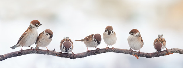small funny birds sparrows sitting on a branch on the panoramic picture