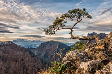 Obraz Dwarf pine tree on Sokolica peak, Pieniny, Poland - fototapety do salonu