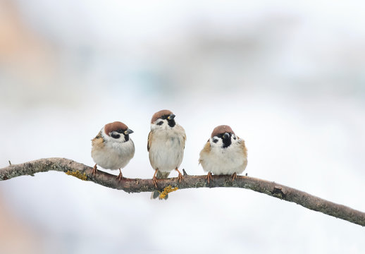 three funny birds Sparrow sitting on a branch in winter