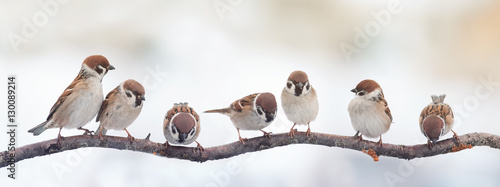 Wall mural  small funny birds sparrows sitting on a branch on the panoramic picture