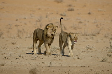 Lion (Panthera leo) pair about to mate, Kgalagadi Transfrontier Park, encompassing the former Kalahari Gemsbok National Park, South Africa, Africa