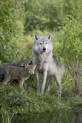 Gray wolf (Canis lupus) adult and pups, in captivity, Sandstone, Minnesota, United States of America, North America
