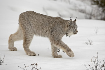 Canadian Lynx (Lynx canadensis) in snow in captivity, near Bozeman, Montana, United States of America, North America