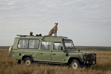 Cheetah on safari vehicle, Masai Mara National Reserve, Kenya