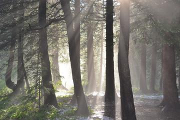 Forrest Sun Rays