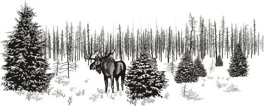 Siberian moose in winter forest./Vector image of a moose in the north in the winter forest.